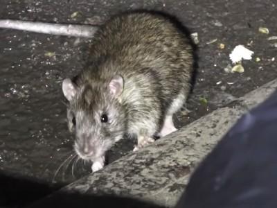A 'rat rebate' is coming to Peel Region