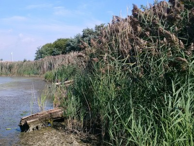 City fails to take lasting action as invasive species threatens Professor's Lake