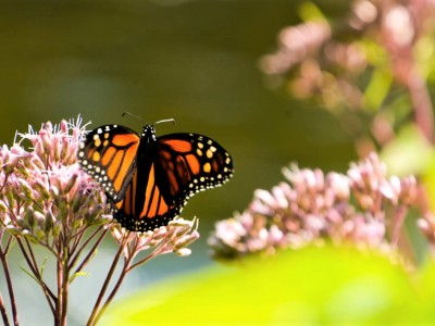 Southern Ontario, once home to a thriving monarch butterfly population, is the flagship of habitat fragmentation; the GTA West Highway will only make it worse